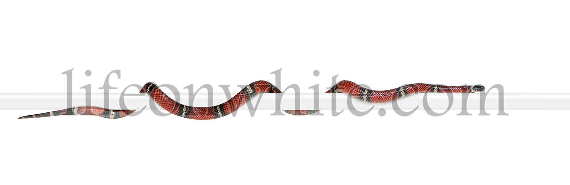 Sinaloan milk snake, Lampropeltis triangulum sinaloae, in front of white background