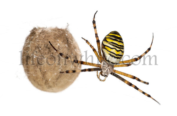 Wasp Spider, Argiope bruennichi, hanging next to its egg sack against white background