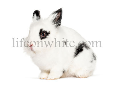Young black and white Rabbit, isolated on white