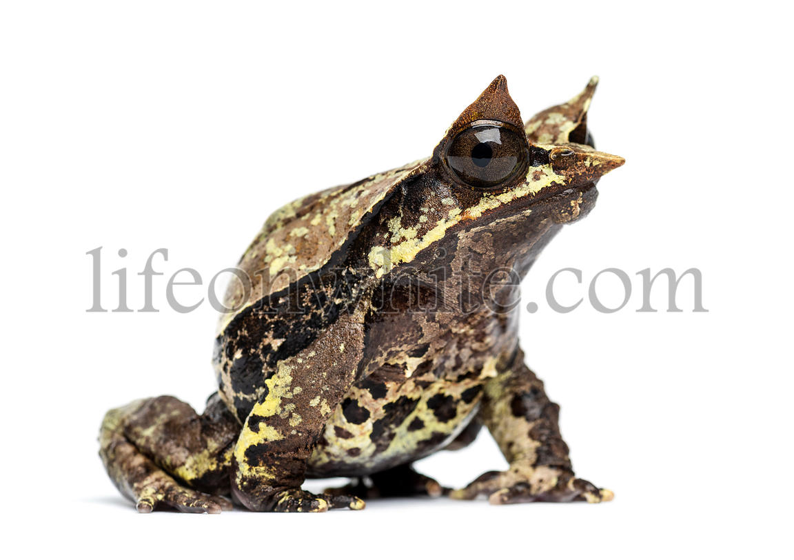 Side view of a Long-nosed horned frog, Megophrys nasuta, isolated