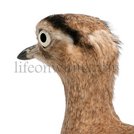 Close-up of Peruvian Thick-knee, Burhinus superciliaris, 3 years old, in front of white background