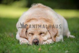 close up of sleeping yellow lab