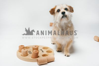 A terrier in a studio on a white background with a food puzzle toy