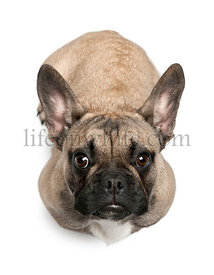 French Bulldog puppy, 8 months old, sitting in front of white background