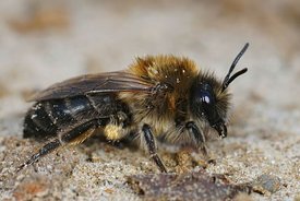 Lateral closeup of a female of vernal colletes or spring mining bee ,Colletes cunicularius