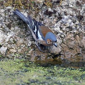 Common Chaffinch (Fringilla coelebs) male drinking from the garden pond, Lake District National Park, Cumbria, England