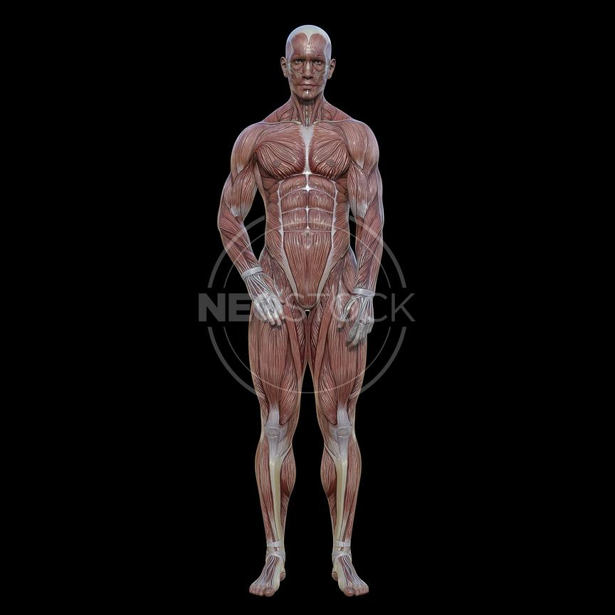 cg-body-pack-male-muscle-map-neostock-24