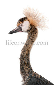 Close-up of Black Crowned Crane, Balearica pavonina pavonina, 6 months old, in front of white background