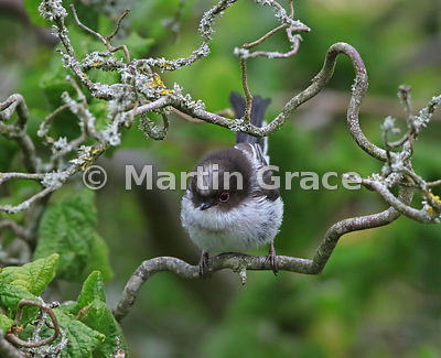 Juvenile Long-Tailed Tit (Aegithalos caudatus) standing in a garden Contorted Hazel (Corylus avellana Contorta), Lake Distric...