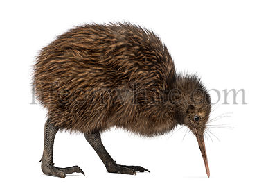 North Island Brown Kiwi, Apteryx mantelli, 3 months old