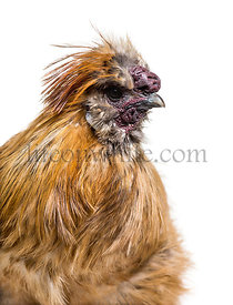 Silkie, sometimes spelled Silky, breed of chicken known for it's fluffy plumage, in front of white background