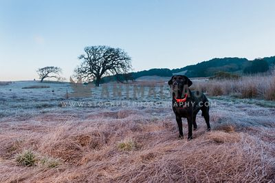 A black lab standing in a field of brown grass