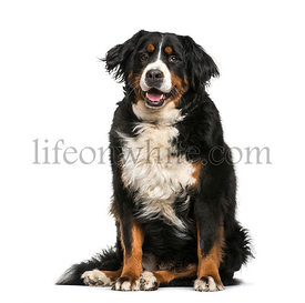 Bernese Mountain dog, 6 years old, sitting in front of white background