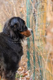 A Bernese Mountain dog looking through a mesh fence