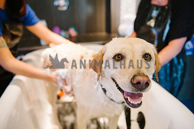A close up of a yellow lab getting bathed by two groomers