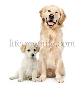Golden Retriever and a Labrador puppy sitting