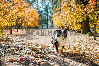 A herding dog fetching a tennis ball between two lines of trees