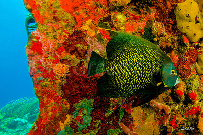 Saint-Barthélemy diving Angel fish