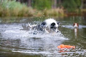 Border collie swimming in lake