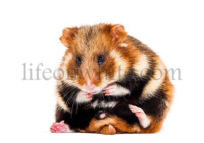 European hamster, Cricetus cricetus grooming in front of white background