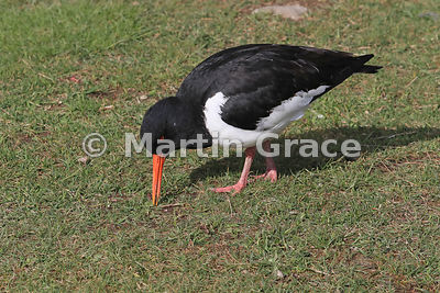 Eurasian Oystercatcher (Haematopus ostralegus) probing for invertebrate food in short turf, Highland Wildlife Park, Kincraig,...