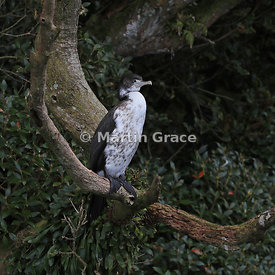 Juvenile Pied Shag (Phalacrocorax varius varius) perching in a tree, Stewart/Rakiura & Ulva Islands, South Island, New Zealand