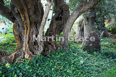 Ancient Olive Trees (Olea europaea) with a ground cover of Ivy (Hedera helix), Flower Dome, Gardens By The Bay, Singapore, So...