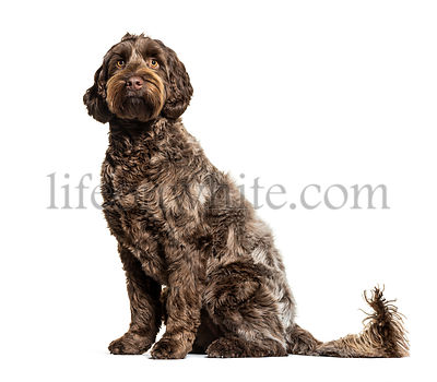 Labradoodle, crossbreed dog between labrador and toy poodle, isolated on white