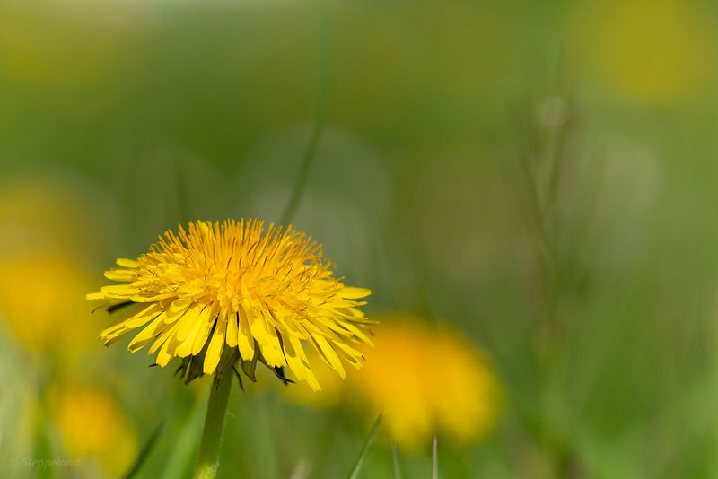 One dandelion flower head among many