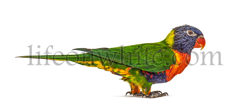 Rainbow Lorikeet, Trichoglossus moluccanus, isolated