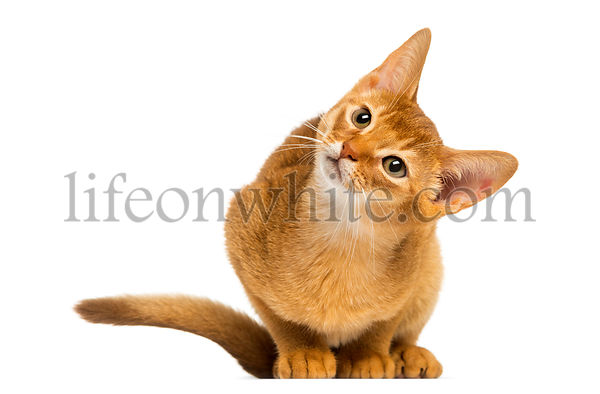 Abyssinian kitten sitting, looking up with curiosity, 3 months old, isolated on white