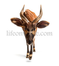 Bongo, antelope, Tragelaphus eurycerus walking against white background