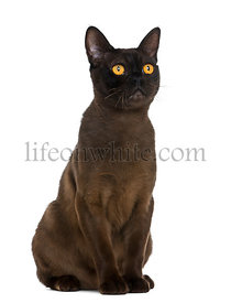 Bombay cat sitting and looking up, isolated on white