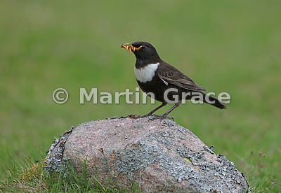 Ring Ouzel (Turdus torquatus) male standing on a lichen-covered rock with a large number of Mealworms (Tenebrio molitor) in h...