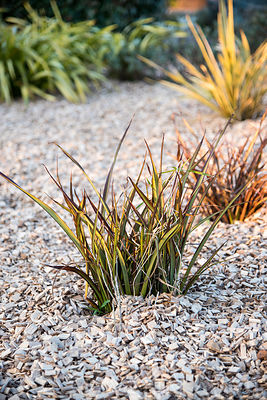 Imperata cylindrica Red baron et paillis de bois ∞ Cogongrasses 'Red Barron' on wood mulch in a garden