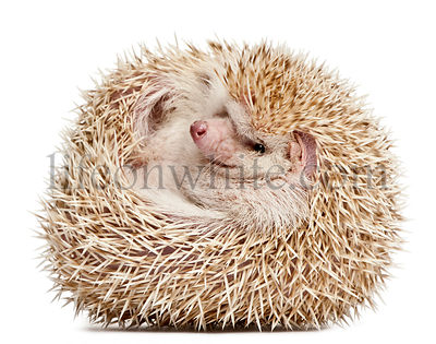 Four-toed Hedgehog, Atelerix albiventris, 2 years old, balled up