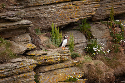 Puffin sitting on a cliff ledge