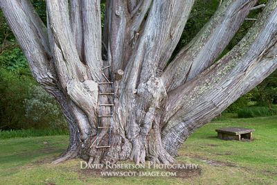 Image - Cypress tree, Monterey cypress, Colonsay House Gardens, Isle of Colonsay, Argyll, Scotland