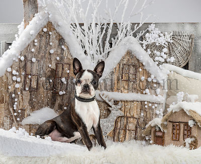 Boston terrier in front of a Christmas scenery