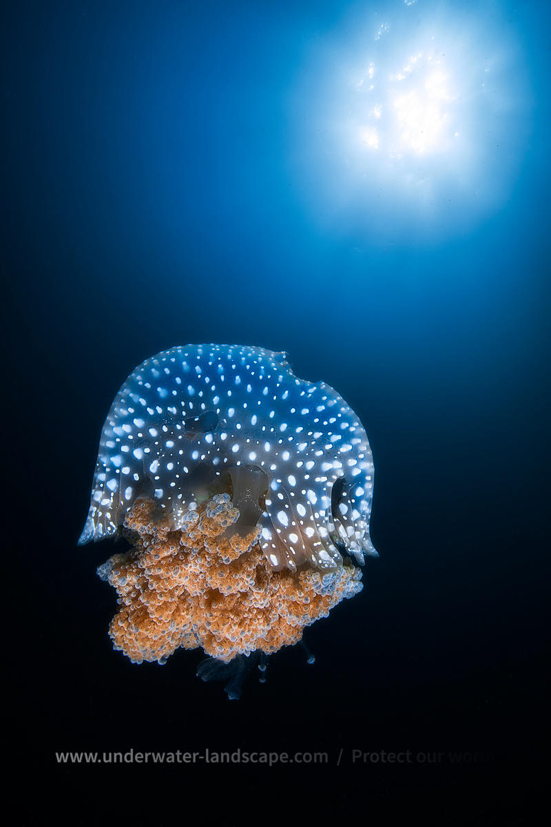 Jellyfish from Tachai pinnacle