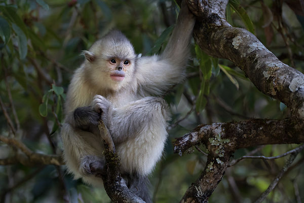 Black Snub-Nosed Monkey II
