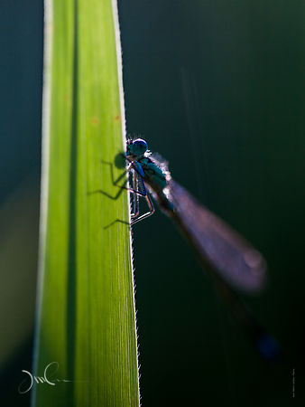 Demoiselle :  Insecte proche des libellules..Damselfly: winged insect close to dragonflies.