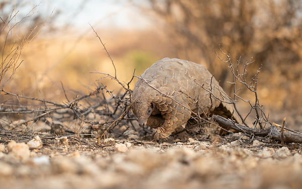 https://www.dailymaverick.co.za/article/2020-02-07-coronavirus-source-found-in-pangolin-meat/?utm_medium=email&utm_campaign=A...