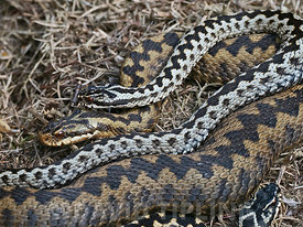 Common European Adder Vipera berus male guarding female prior to mating  on heath Holt North Norfolk April