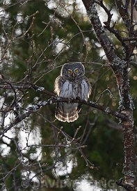 Northern Pygmy Owl Glaucidium californicum Oulu Finland winter