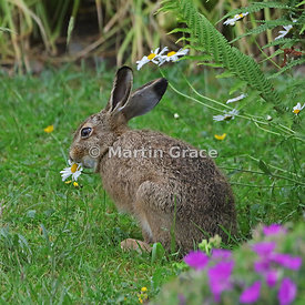 Young European Brown Hare (Lepus europaeus) eating an Oxeye Daisy (Leucanthemum vulgare) close to a pink-flowered garden cran...