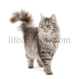 Crossbreed Siberian cat and persian cat