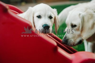 A golden retriever puppy peering out from behind some red plastic steps