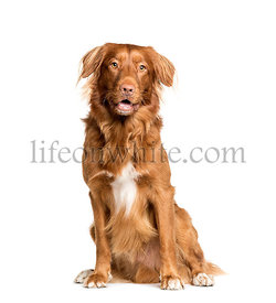 Toller dog sitting in front of white background