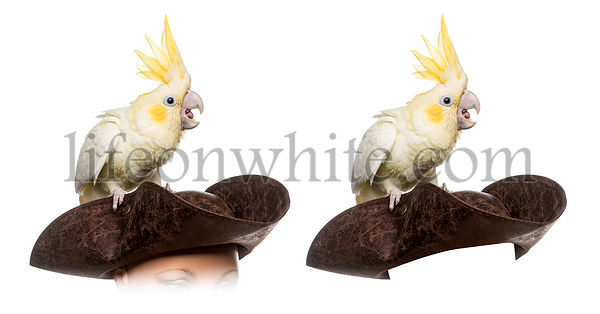 Yellow-crested Cockatoo isolated on white